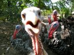 "Heritage Turkeys ""gobble gobble"" #birds #farm #sustainable #heritage #poultry #turkeys"
