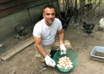 Collecting eggs from heritage chickens