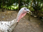 Heritage_Turkeys10