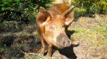 Pig_Tamarin