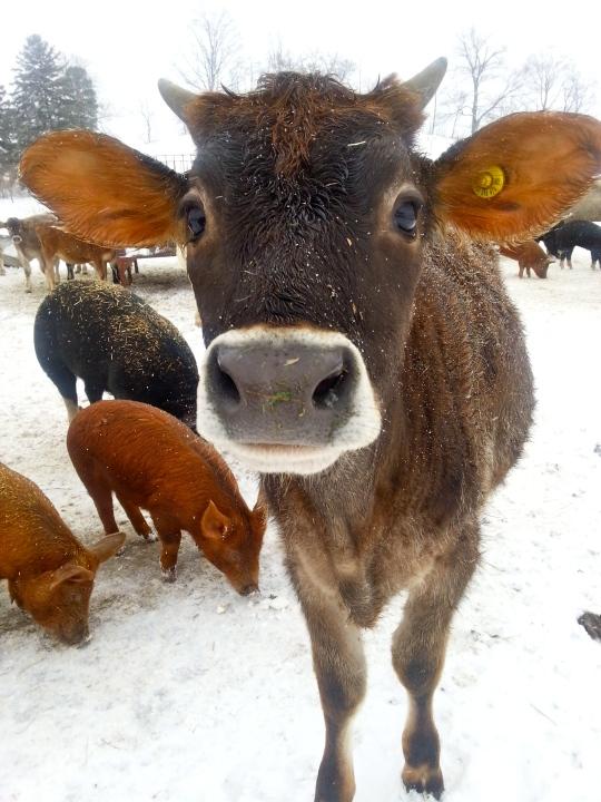 Zhor - Jersey Calf