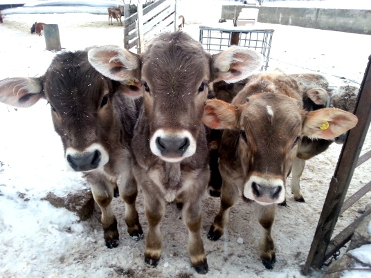Brown Swiss