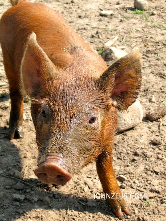 Tamworth Piglet 2