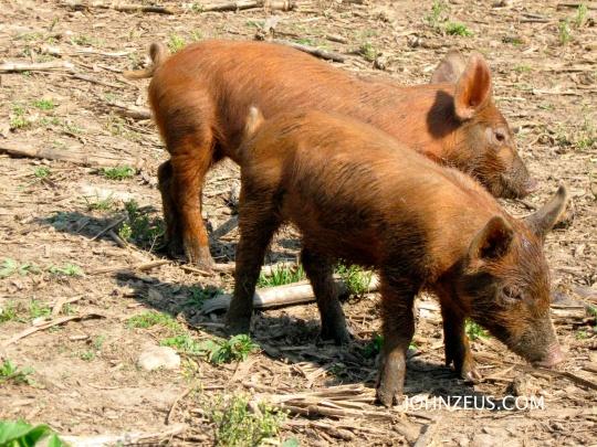 Tamworth Piglets 1