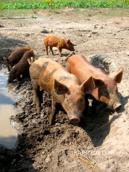 Tamworth Piglets 3