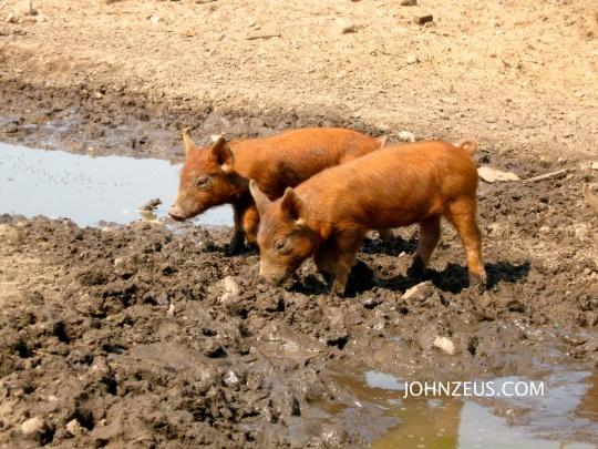 Tamworth Piglets 4
