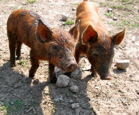Tamworth Piglets 5