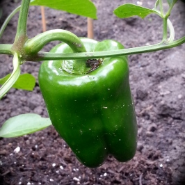 Urban Garden Pepper
