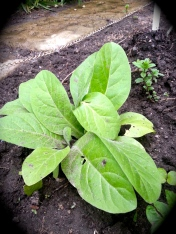 First Nations Tobacco - Planting some crops next to vegetables help vegetables grow.