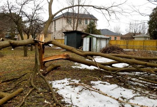 Fallen Tree 2 - Toronto Ice Storm