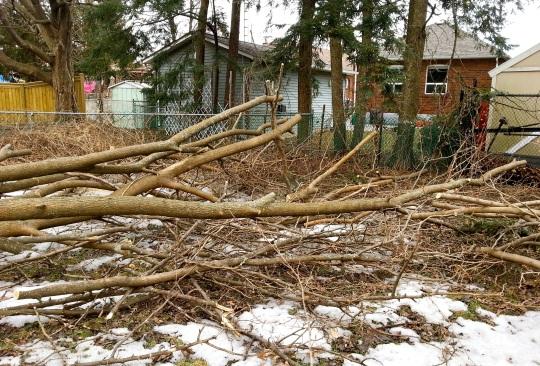 Fallen Tree 3 - Toronto Ice Storm